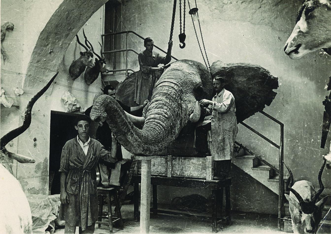 elefante preparazione tripoli 1939