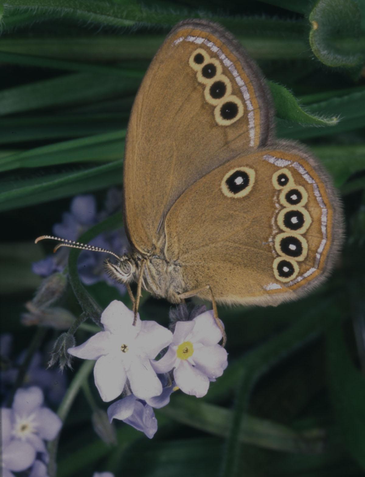 Coenonympha oedippus - Lepidottero presente nell'area delle risorgive friulanetutelato dalla normativa europea