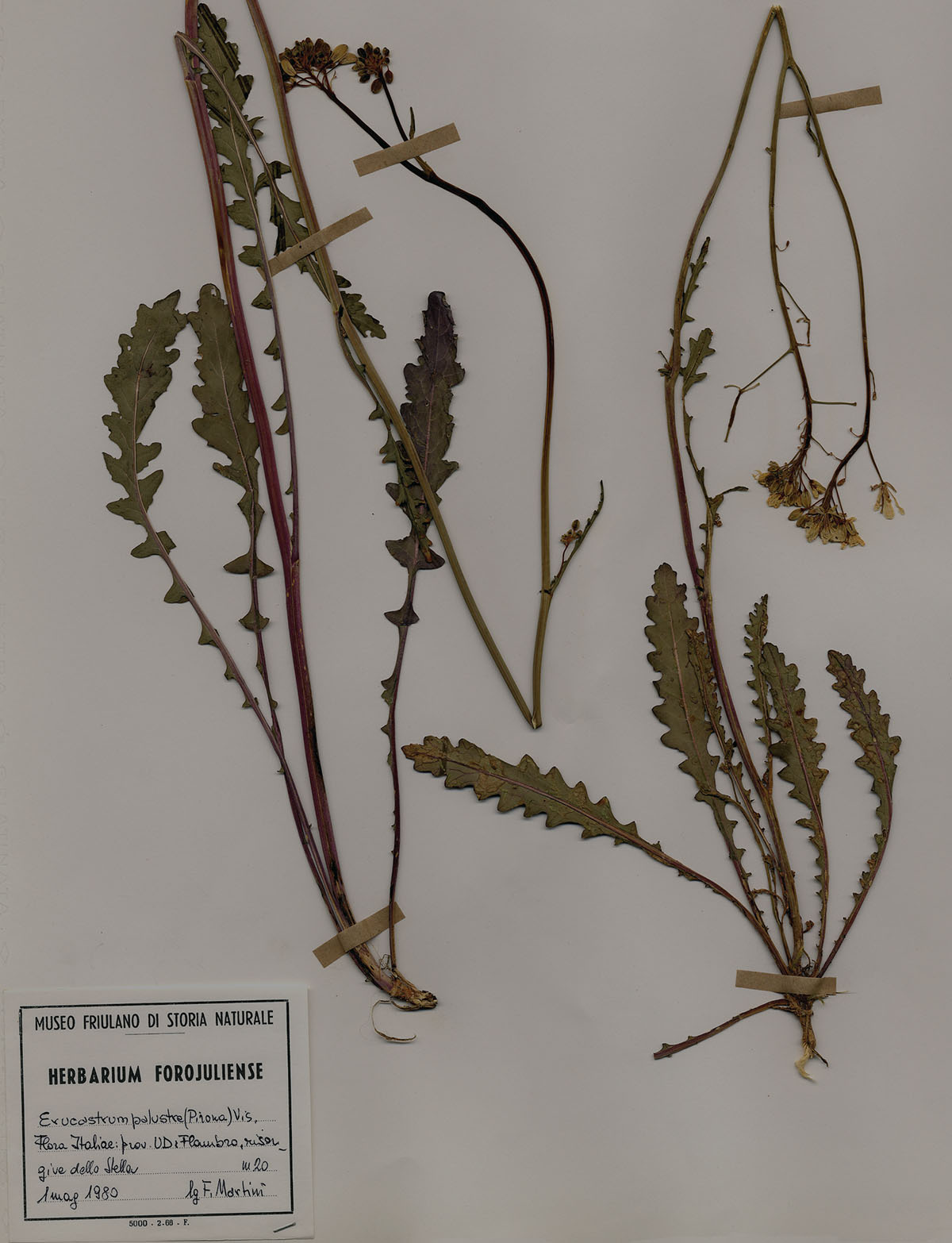 Erucastrum palustre - Herbarium leaf with Erucastrum, endemic plant of Friuli