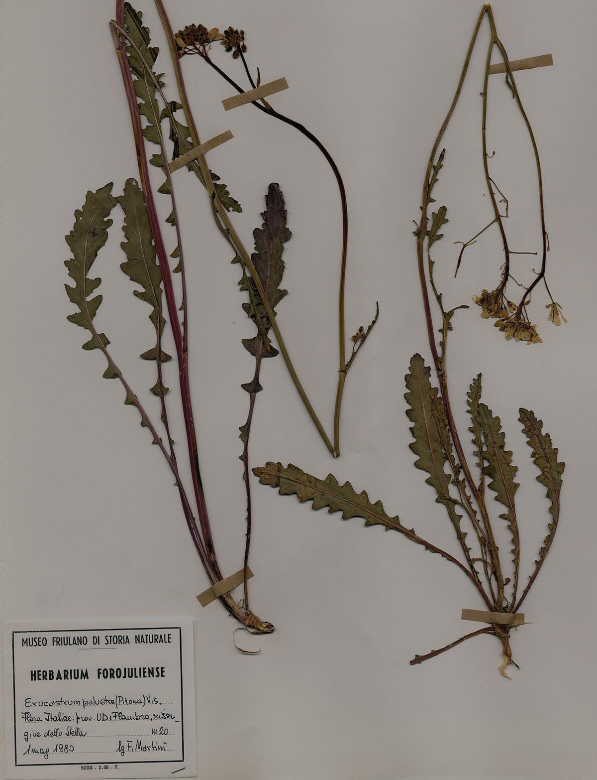 Erucastrum palustre - Foglio di erbario con Erucastrum palustrepianta endemica del Friuli
